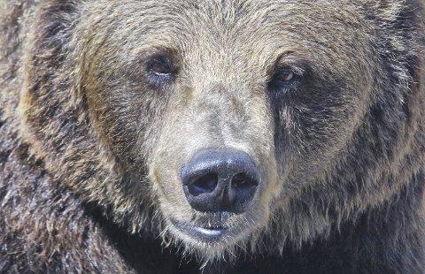 Mandat: Rovviltnemndene skal respektere og ivareta nasjonale bestandsmål for store rovdyr samt til enhver tid gjennomføre en statlig forvaltning innenfor Stortingets eksakte rammer, påpeker Naturvernforbundet i Nordland. Foto: Per Løchen / NTB scanpix