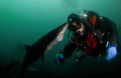 Bildet ble tatt under organisasjonen Hjelp Havets Haiers årlige dykking med pigghå på Reve ved Jæren i begynnelsen av juli.