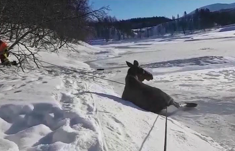 SKLED PÅ ISEN: Elgkua er her fraktet i land etter å ha forvillet seg ut på elveisen i Skjeggestad i Øverbygd.