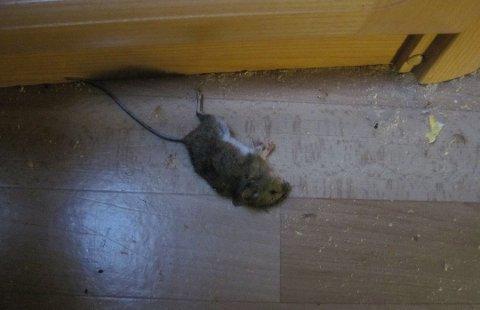 SKADEDYR: Denne musa har forspist seg på isolasjon. Mus og rotter kan gjøre stor skade på huset ditt. Foto: Gjensidige