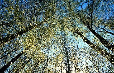 BØK  I Larvik oppleves det like sterkt hver vår, når bøketrærne springer ut i første halvdel av mai.