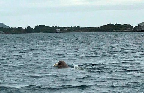 UNIK: Hvalross er eneste art i hvalross-slekten og i hvalrossfamilien, som er søstergruppen til øreselfamilien.