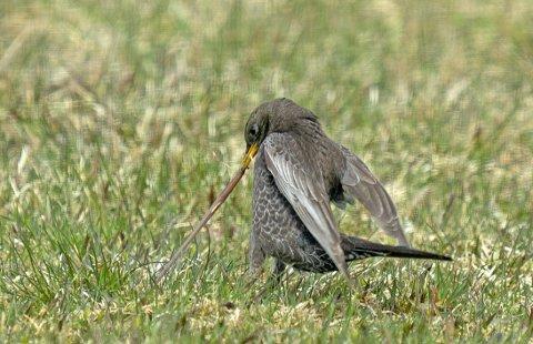 STREVE FOR FØDEN: Vi ofrer lite tanker på de myriadene av vesen som lever under bakken. At trostefuglene forsyner seg av ressursene i den ugjødsla enga er et tegn på vellykket gjenforvilling. ALLE FOTO: Thor Østbye