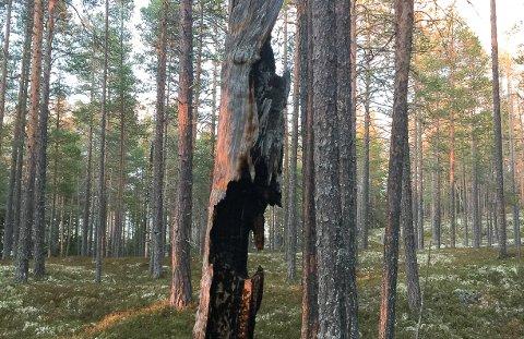 SKOG: Gammelt skogbrannherjet tre i yngre skog i Rendalen.