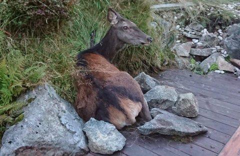 Her ble hjortekollen liggende i flere timer før den til slutt måtte bøte med livet.