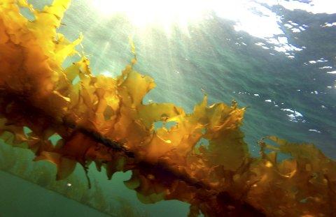 DYRKING: Tare blir dyrka på strekk av tauverk i sjøen. Pressefoto.