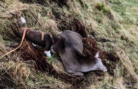 Ein av dei to påkøyrde hjortane blei funnen av Erling Karstad i Ytre Fjordane Ettersøksring, berre 100 meter frå ulukkesstaden.