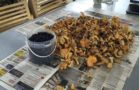 Sank i vei: Det rapporteres om gode forekomster av kantareller i skog og mark. De første blåbærene er også på plass. Litt mer fuktighet i jorda vil føre til en super september for alle soppentusiaster.Foto: Lill Mostad