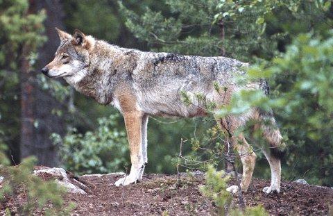 DEBATT: Ulven og erstatning etter ulveskader skapte debatt i Kongsvinger kommunestyre.