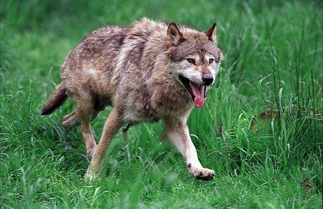 OBSERVERT: Selv om ulven(e) på Øståsen er observert, så har ingen kommet på skuddhold av den, verken med gevær eller kamera. Derfor må vi nøye oss med dette illustrasjonsbildet.