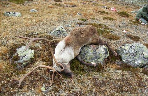Torsdag i forrige uke ble det bekreftetskrantesykepå en reinbukk på Hardangervidda, hvor det tidligere ikke er påvist sykdom.