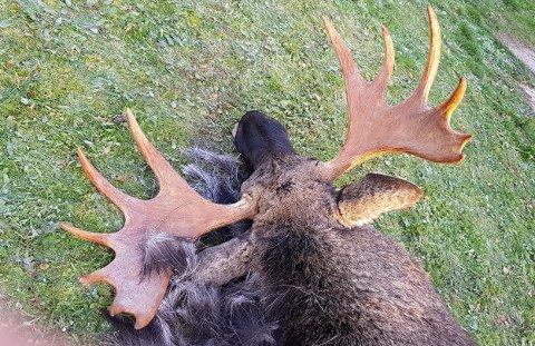 Denne elgen ble skutt i området mellom Drevja og Elsfjord forrige helg. Dyret hadde en kule i seg fra tidligere skadeskyting og ble kassert.