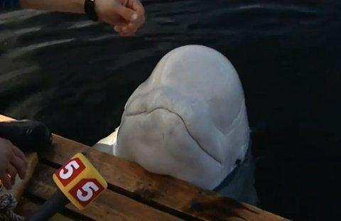 KJENDIS: Russiske medier lagde en sak om blant annet hvitvalen Semjon i 2008, på oppdraget fra norske Fiskeribladet. Tidligere reporter Morten Vikeby mener hvitvalen utenfor finnmarkskysten er av samme type.