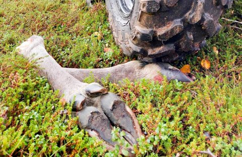 ULOVLIG FRAKT AV ELG: Dette bildet er et illustrasjonsfoto av en elg som er felt i år. Den er meldt inn til FeFo og merket som reglene tilsier. Det var ikke elgen som ble avdekket av reinpolitiet på lørdag.
