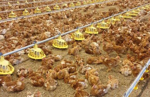 INN: Enten du driver stort eller har et par høner i hagen, så skal de holdes inn nå. Fugleinfluensaen er nemlig på vei inn i Norge.