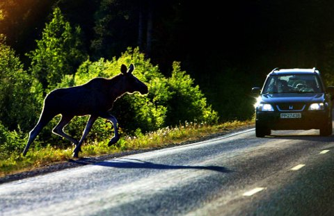 KJØRTE PÅ ELG: En personbil og en lastebil kjørte på samme elg søndag kveld.