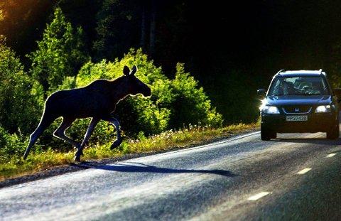 ELGFARE I TRAFIKKEN: Under elgjakta øker faren for å møte på elg i trfaikken.  Bilister bør derfor være ekstra oppmerksomme.  Arkivfoto: Arkivfoto/Bjørge Stein J