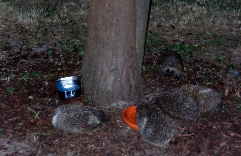 BESØK: En tipser Romerikes Blad har vært i kontakt med har sendt oss dette bildet av trivelig kveldsbesøk fra en pinnsvinfamilie.