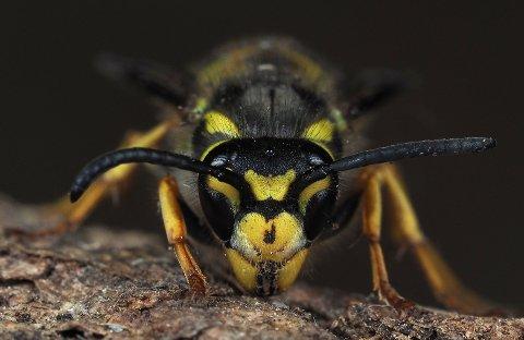 Nysgjerrig: Vepsen er ikke farlig, beroliger Rune Aae før insektet inntar sommerens grillmat og saftglass.