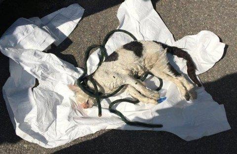 DRUKNET: Denne katten ble funnet i en søppelcontainer i Måkeveien på Kråkerøy torsdag formiddag.