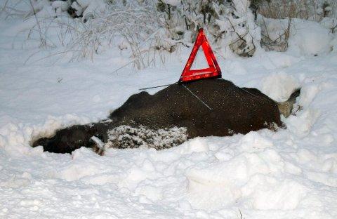 VARSLE POLITIET: Kjører du på en elg eller et annet vilt må du varsle politiet, men husk også å sikre ulykkesstedet med varseltrekant. Foto: Dag Bjørndahl