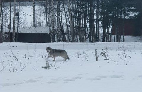 PÅ NÆRBESØK: Her er ulven som lusket like ved Sørskogbygda skole tidligere i år.