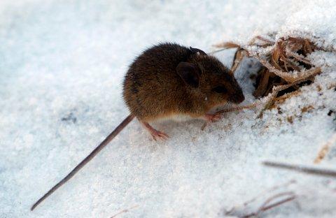 TALLRIKE: – Blir det en del snø til vinteren som musa kan gjemme seg under, så kan vi kanskje få enda mer mus neste år, sier forsker Jørund Rolstad.
