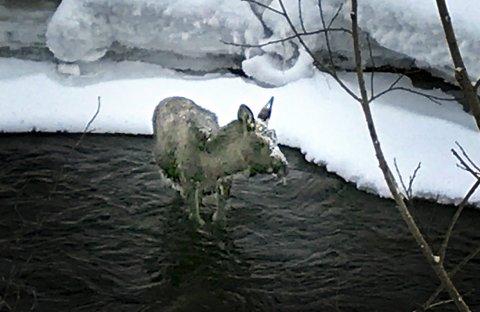 Utmattet: Denne vinteren har vært krevende for hjorteviltet. Denne elgkalven kom aldri ut av elva.