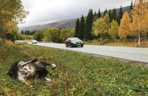 Død elg på E6 ved Fallan i Grane kommune. Elgen var involvert i en trafikkulykke fredag kveld, og bildet er tatt søndag ettermiddag.