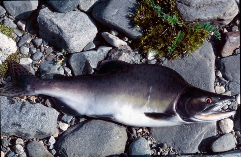 STORE MENGDER: Karl Magne Arvola i Neidenelvens Fiskefellesskap forteller at de har tatt opp mange pukkellaks så langt i år.