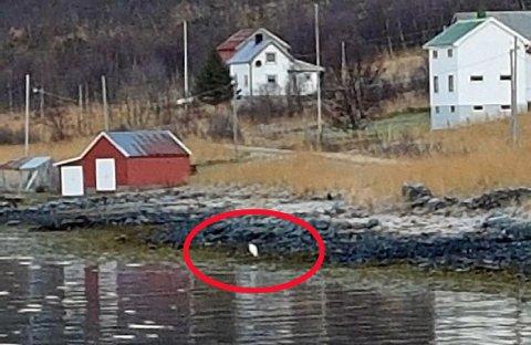 SJELDEN GJEST: Den store fuglen oppholdt seg hele mandag i Sør-Grunnfjorden på Ringvassøy.