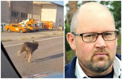 HAR NOK VANDRET LANGT: Ulven som ble filmet utenfor Gjøvik 31. mai, er trolig nå langt avsted, sier Ole Knut Steinset i SNO.