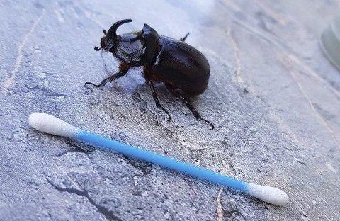 Stor nok: Denne skapningen fikk Nina Larsen til å lure på om det var en eksotisk bille som kom på besøk. Foto: Privat