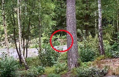 Ulven er blitt observert flere steder. Her lusket den forbi en hytte på Eidsfoss i helgen.