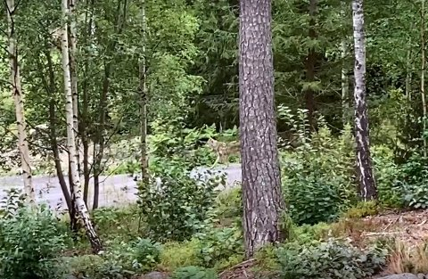 FANGET: I hvert fall på kamera. Fellingslaget forsøker nå å spore opp ulven som skal ha tatt to lam i helga. Her kort vei fra hytta til Niels Ryholt nær Eidsfoss.