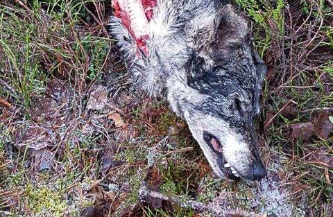 Statens naturoppsyn konkluderer fredag ettermiddag med at hunden som ble borte torsdag i forbindelse med en jaktprøve og funnet igjen fredag er drept av ulv.