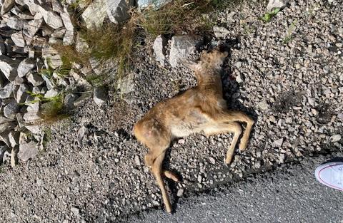LISLEBY: Mandag ettermiddag ble et rådyr jaget ut på veien av en løs hund.