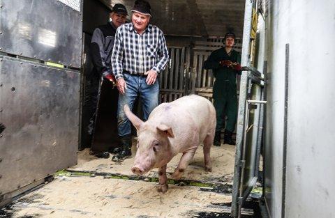 GIR SEG: Odd Kristian Vasåsen gir seg med grisproduksjon og har levert siste grisen.