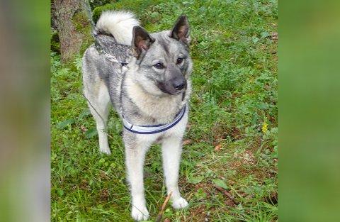 PÅ LANGTUR ALENE: Etter rett under en måned i alene villmarken ble elghunden Kaisa funnet - sliten og avmagret, men i live.