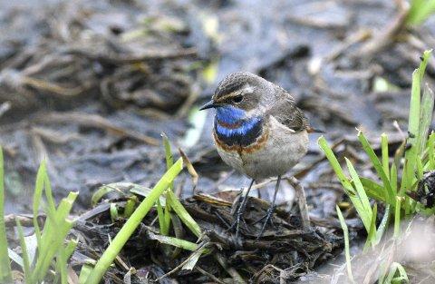 SANGFUGL: Den sangglade blåstrupen kalles blant annet for Fjellets nattergal og bjellefuglen. Foto: Paul Fekjær
