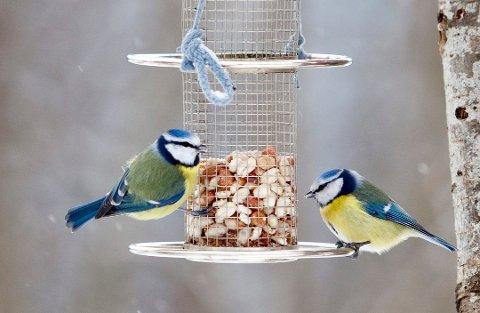 HAGEFUGLTELLING: Denne helgen oppfordres folk til å telle hva slags fugler de har i hagen. Her to blåmeiser som forsyner seg med nøtter fra en foringsautomat.