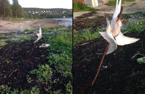 - IKKE ET PENT SYN: Slik fant Maria Høiden (26) og kjæresten terna i fjæra ved Hamna i Tromsø. Foto: Privat