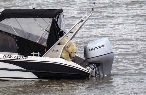 NÆRT: Her er isbjørnen om bord i båten til turkameratene Jon Kristian Bø og Dag Nilsen. Den var ikke mer enn tretti meter unna på det nærmeste.