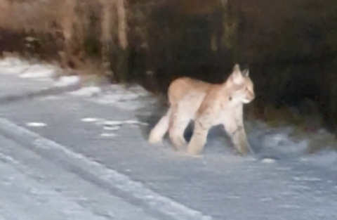 GAUPE: Denne lille gaupeungen holdt Ole Johannessen med selskap i et par minutter, før den løp etter de andre inn i skogen.