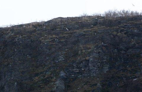 PROBLEM: Her er et bilde tatt av fjellsiden til Stussnesfjellet i 2019. Om alt går etter planen, vil det ikke være i nærheten av like mye måse om noen år.