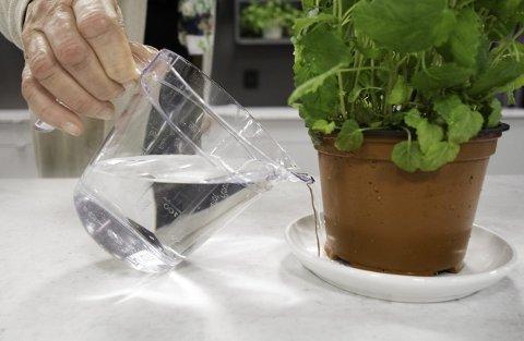 RIKTIG VANNING: Krydderplanter skal vannes nedenfra.