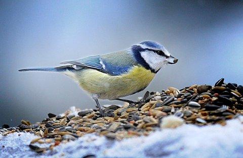 I helgen kan du telle fuglene som besøker fuglebrettet.