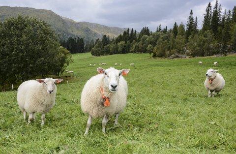 Sauen er med på å vedlikeholde kulturlandskapet vårt og leverer førsteklasses mat uten at man har belastet miljøet i det hele tatt, skriver Lars P. Østrem.