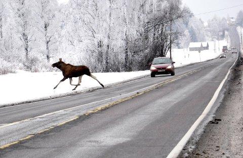 Det er særlig stor elgfare på riksvei 35 mellom Snyta og Styggdal. Bildet er tatt på Steinssletta.