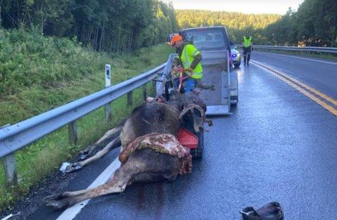 RØYKEN: En elgokse som ble påkjørt av en trailer mandag 24. august måtte bøte med livet.